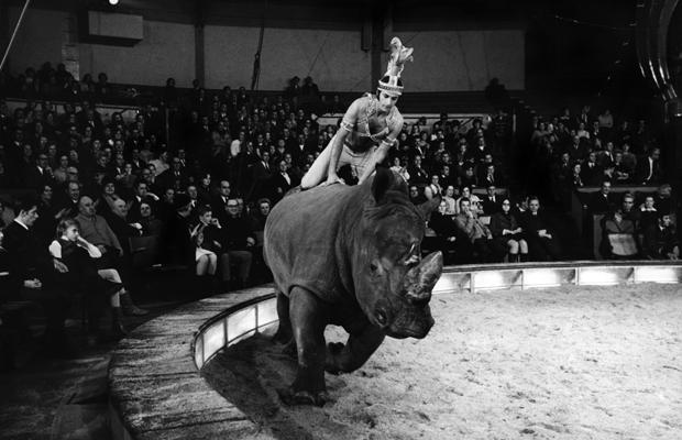 Dompteur Fredy Knie junior mit Nashorn im Circus Krone, 1969