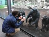 Ein Zoobesucher vor dem Schimpansenhaus, 2010