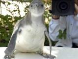 Junger Pinguin wird gefilmt, 2007