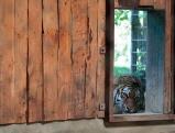 Sibirischer Tiger, 2011