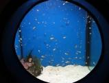 Clownfische im Aquarium, 2011
