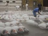 Workers classify tuna fish, 2008