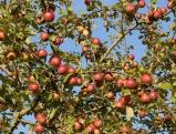 Wildwachsender Apfelbaum