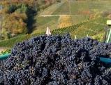 Weinbau an der Ahr: Rotweintrauben nach der Lese