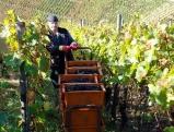 Weinanbau an der Ahr
